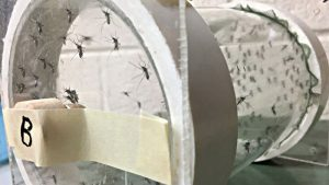 The entomology labs at NC State raise and maintain colonies of mosquitoes for testing the prototype bite-resistant fabrics and garments.